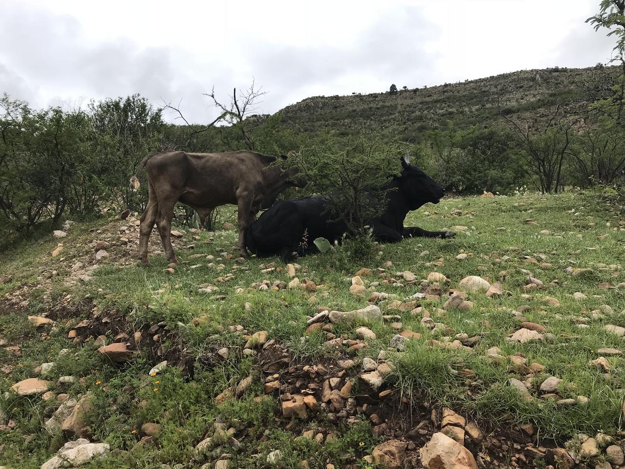 En la capital suman dos mil reses muertas por sequía