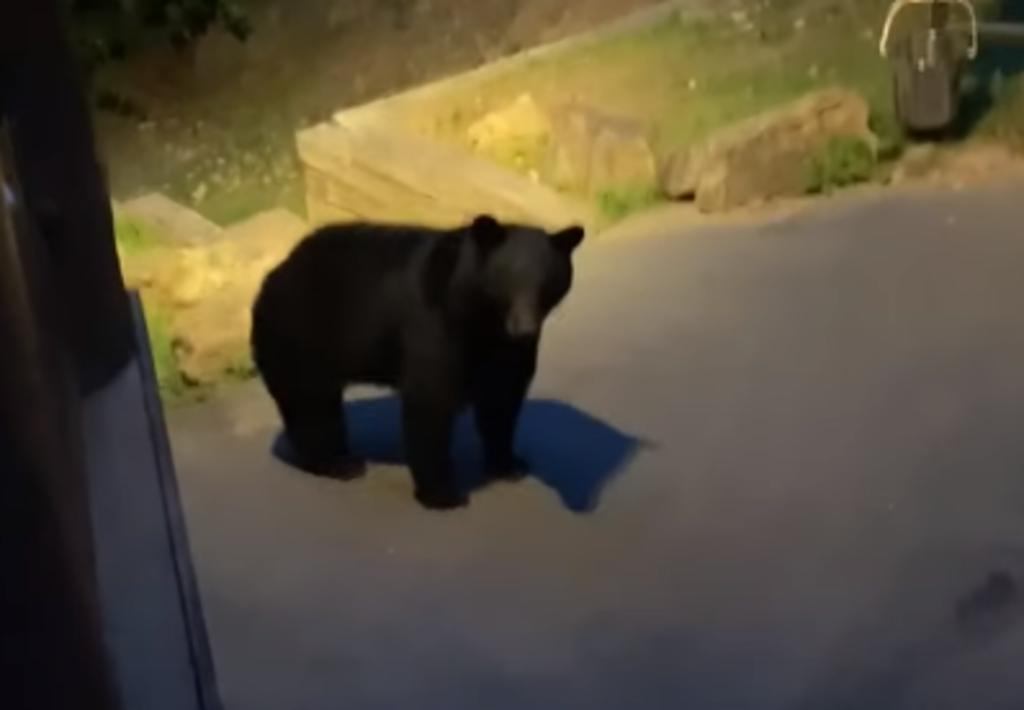 Hombre es 'atacado' por un oso que estaba merodeando cerca de su cabaña