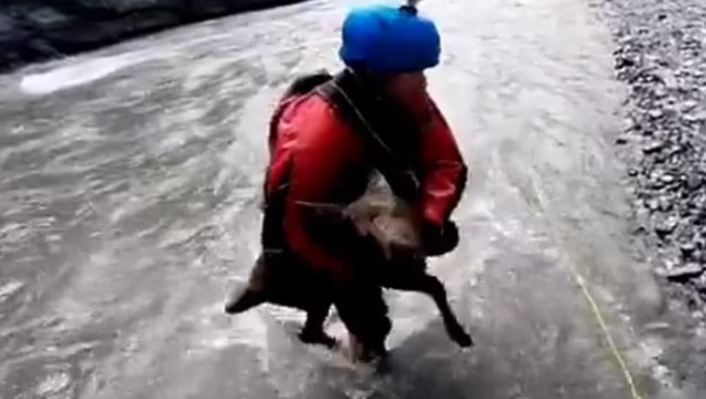 Hombres rescatan a cría de alce que estaba siendo arrastrada por un río