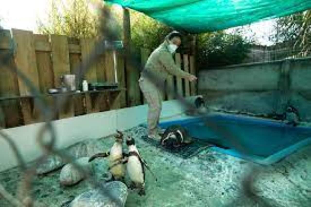 Pingüinos de Humboldt aprenden a ser ciegos en un refugio chileno
