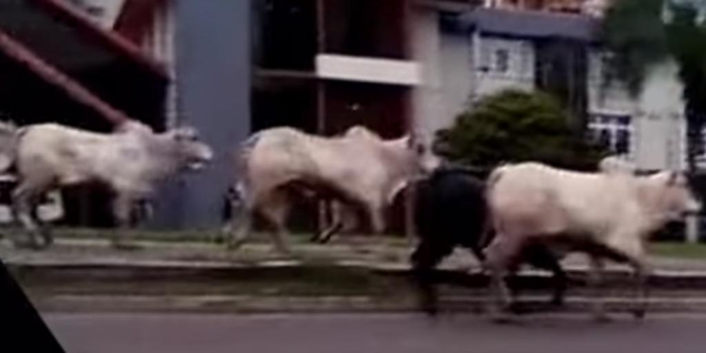 Vacas 'invaden' ciudad y hieren a por lo menos 4 personas