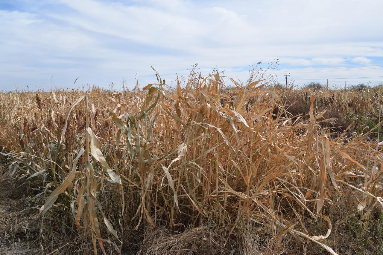 Ante la sequía alertan por plagas en cultivos