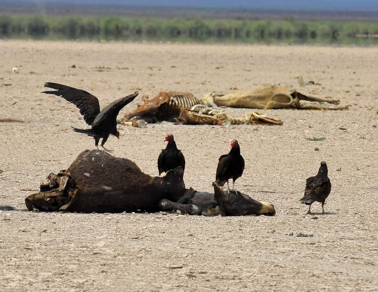 Por sequía, mueren 100 animales al día en Durango