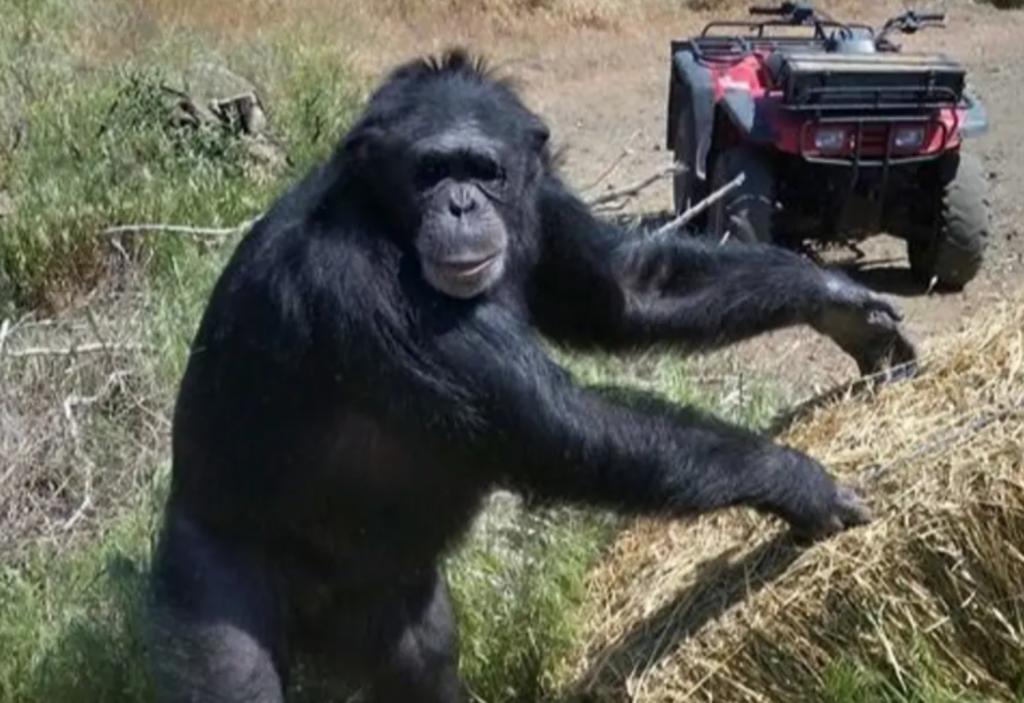Policía mata a chimpancé que estaba atacando a la hija de su dueña