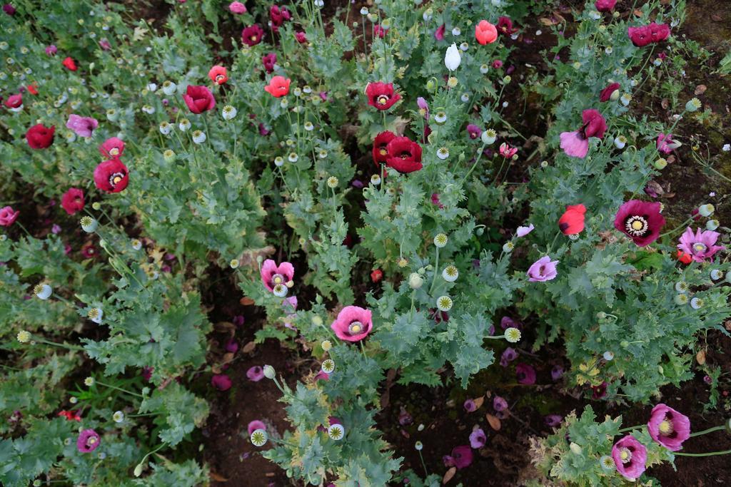 La ONU ubica a México entre los tres mayores productores de opio del mundo