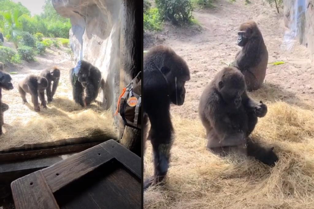 Gorilas se hacen virales por su reacción a una serpiente