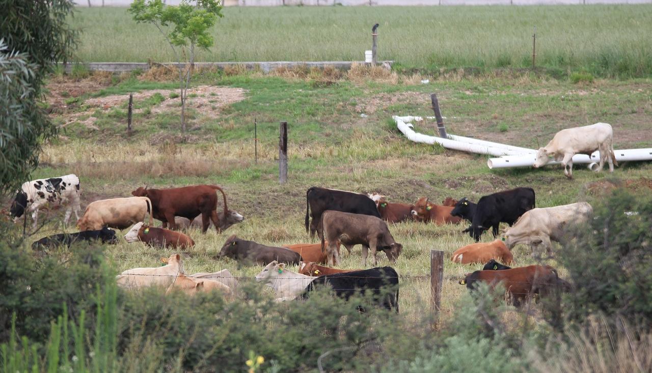 Buscan escalar en producción de ganado