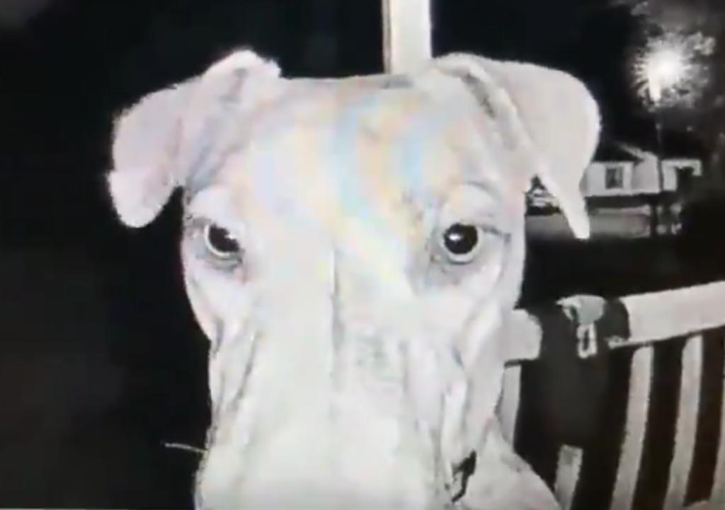 Perro se escapa por horas y al regresar de madrugada toca el timbre