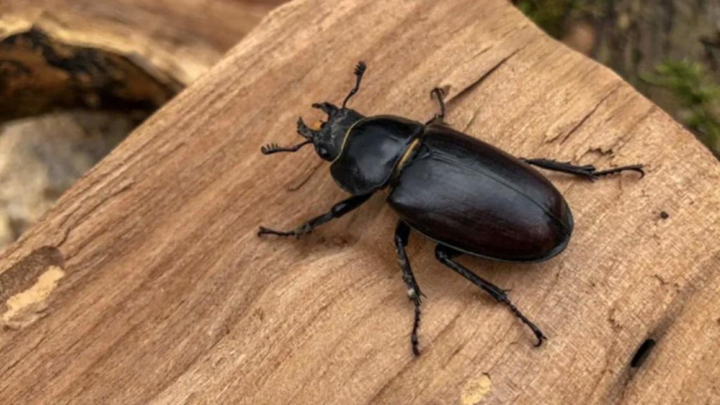 Expertos hallan una nueva especie de escarabajo en Bolivia