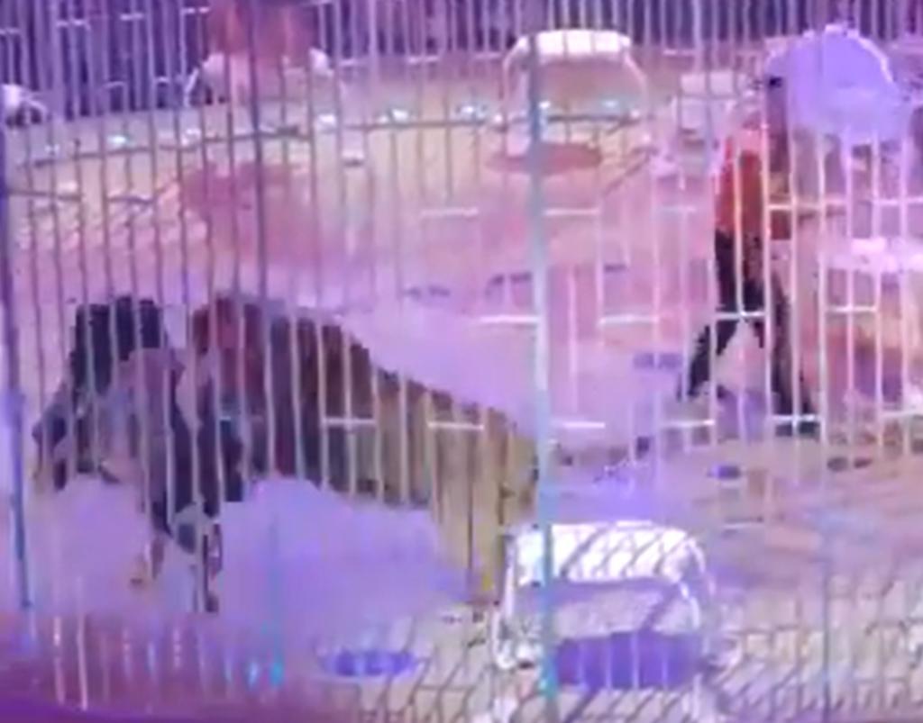 Leones protagonizan pelea entre sí en plena presentación de circo