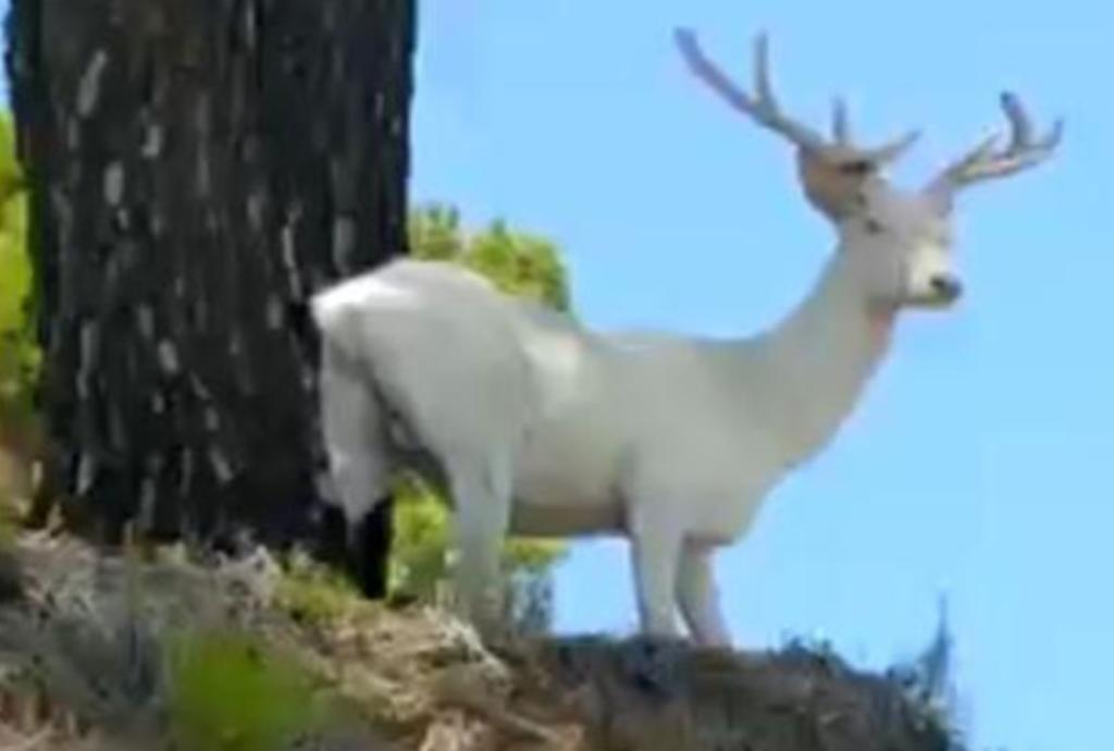 Ciervo albino con cuernos rosáceos grabado en España sorprende a redes