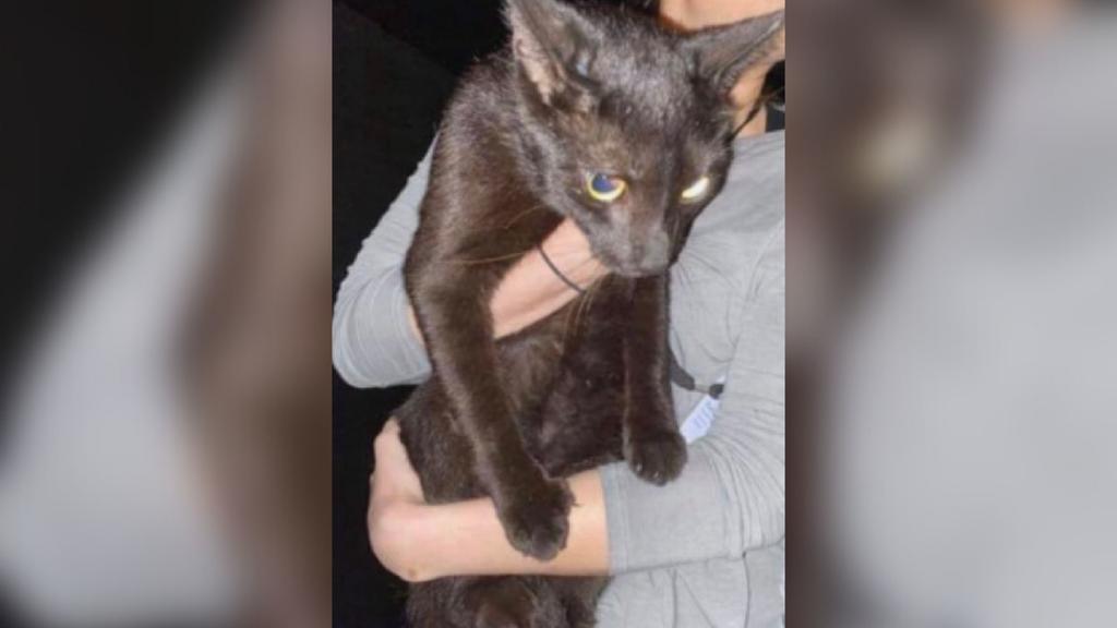 Binx, el gato que resultó ileso del derrumbe en Miami-Dade