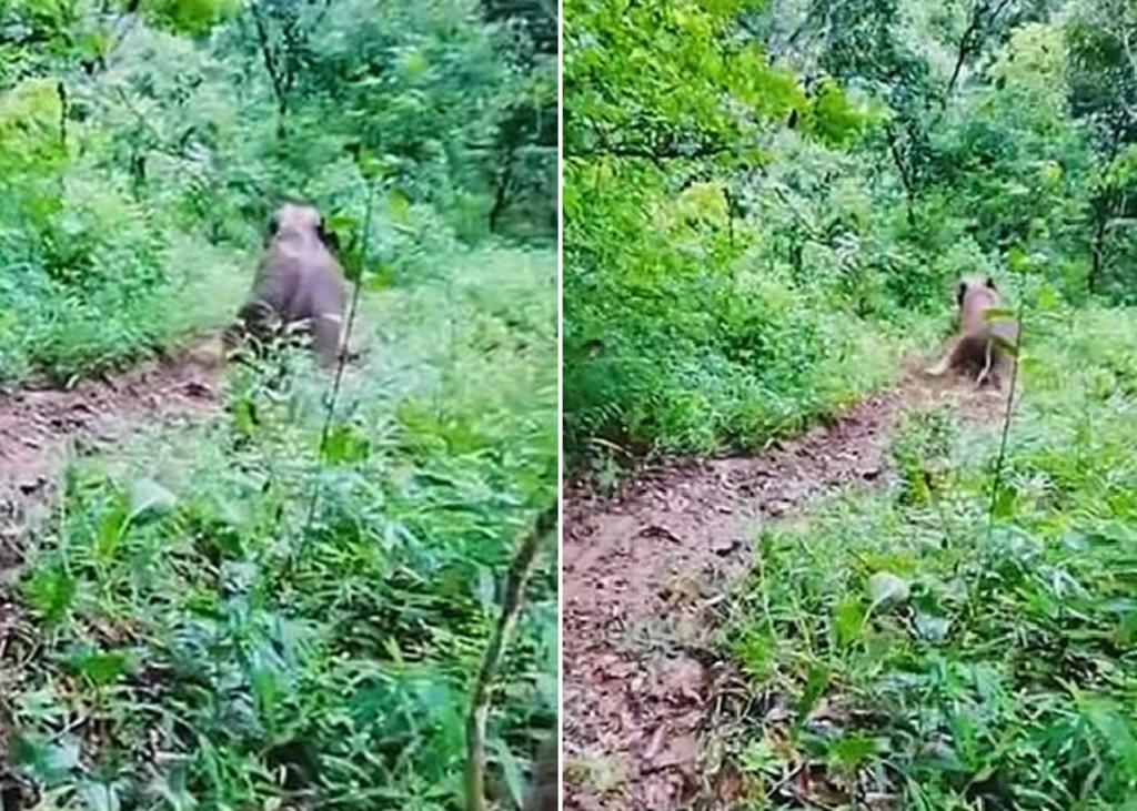 Bebé elefante se desliza por el lodo en adorable video