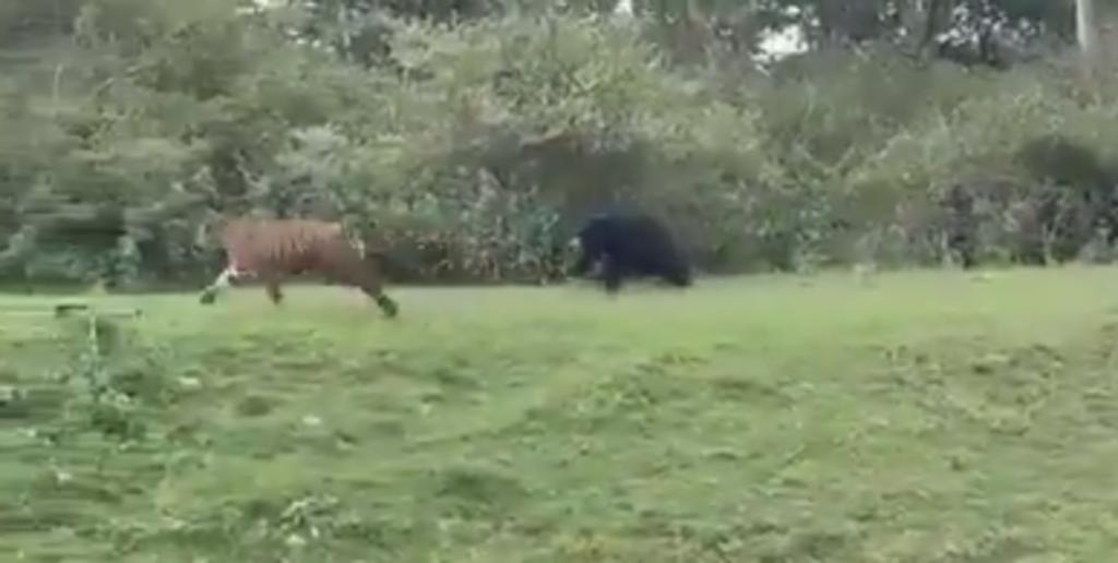 Oso encara y persigue a un tigre más grande que él