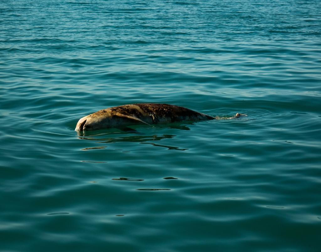 México anuncia un reforzamiento de las medidas para proteger a la vaquita marina