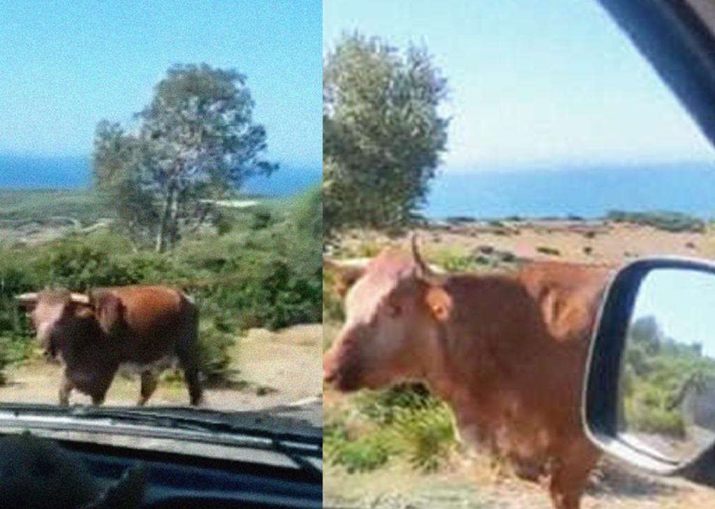 Conductor le pregunta el camino a una vaca y su reacción causa risa