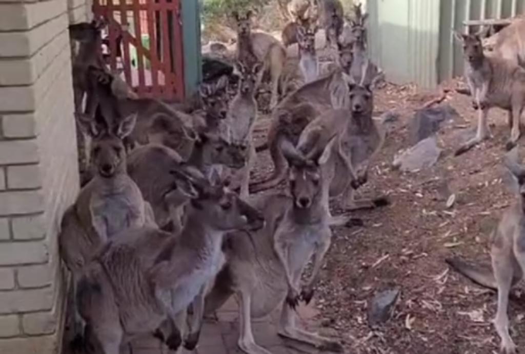 Mujer graba a un grupo de canguros descansando afuera del bar en el que trabaja