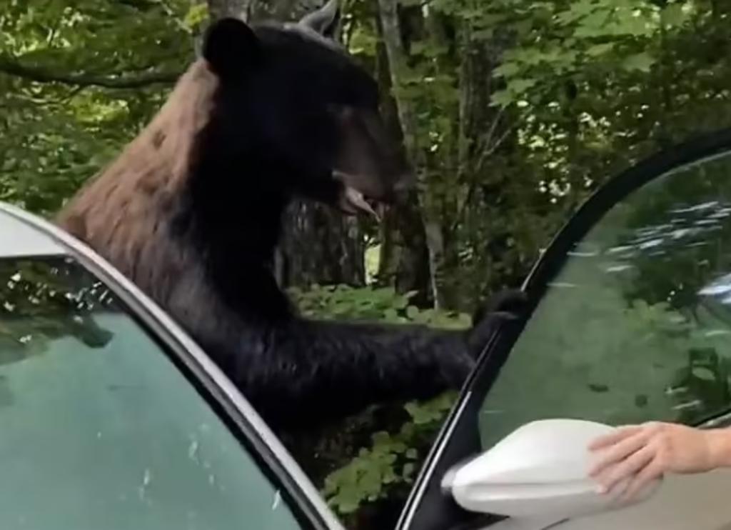 Hombres 'rugen' y gritan para ahuyentar a un oso que ingresó a un automóvil
