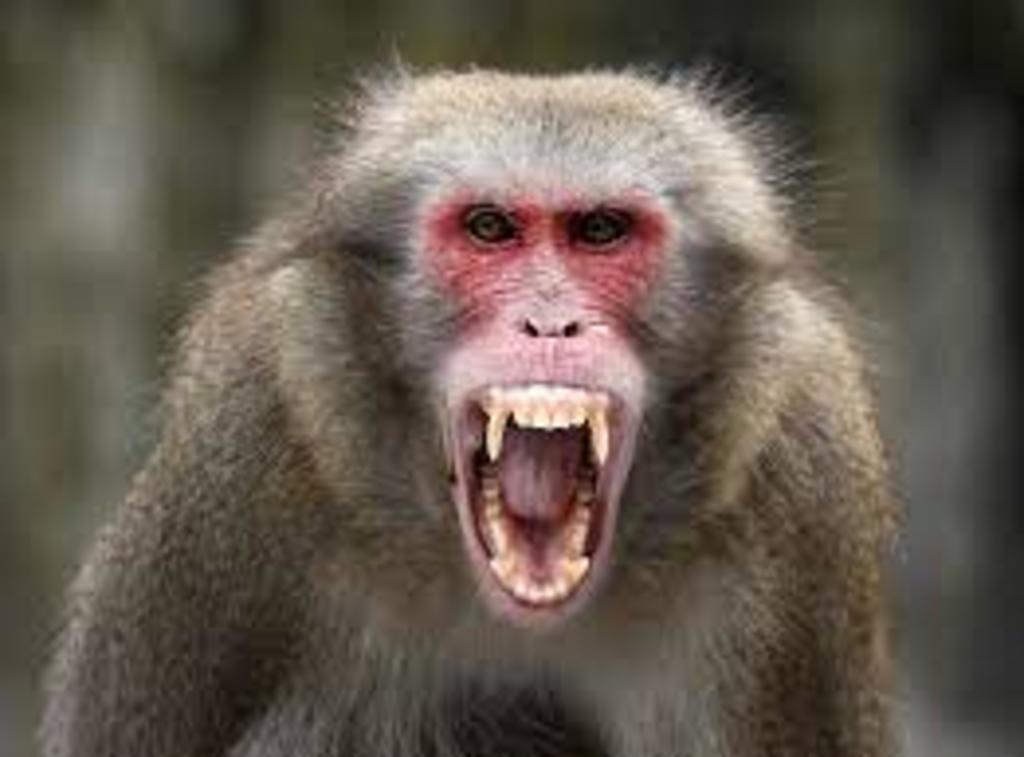 Hombre muere por Herpes B en China; virus transmitido por monos