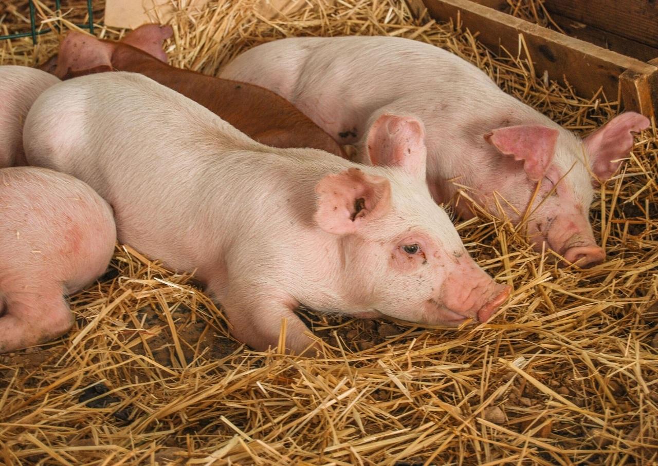 Durango produce más de 2 mil toneladas de carne de cerdo